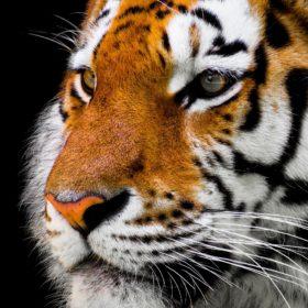 L'animal totem tigre